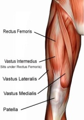 Quadriceps Muscles